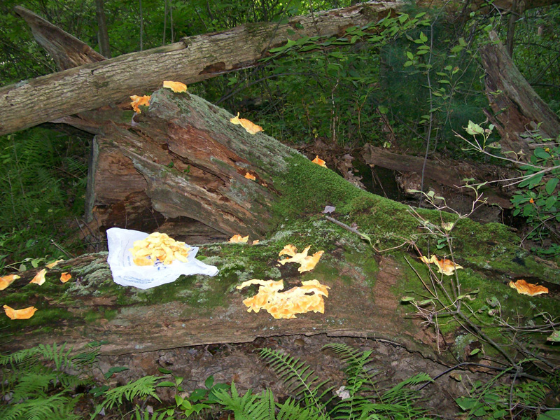 Photo showing a bunch of Chicken of the Woods shelf pieces seeded in various places along a large fallen oak branch.